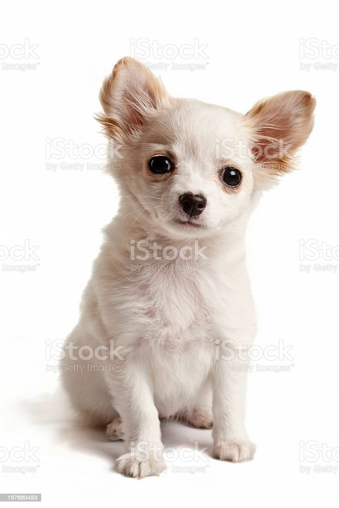 Chihuahua puppy stock photo