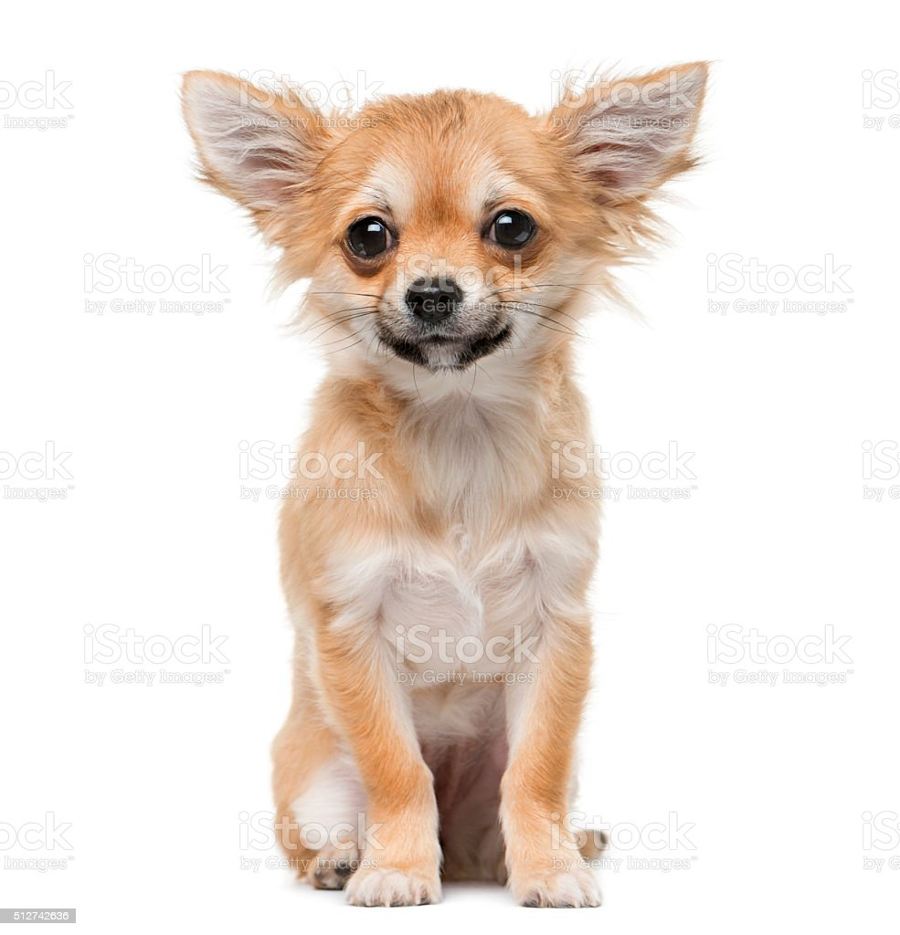 Chihuahua puppy (4 months old) stock photo
