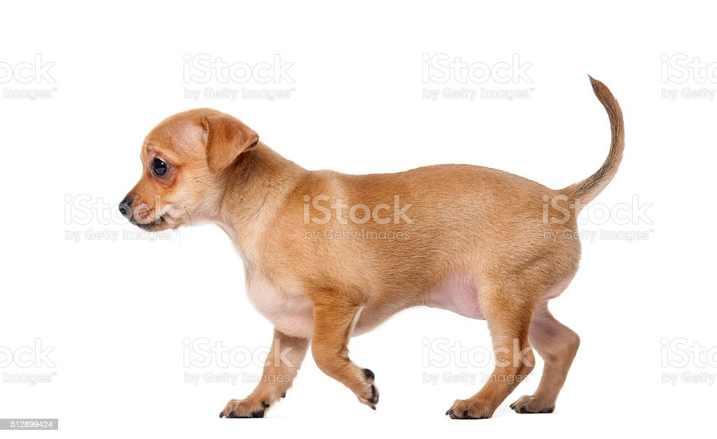 Chihuahua puppy (2 months old) stock photo