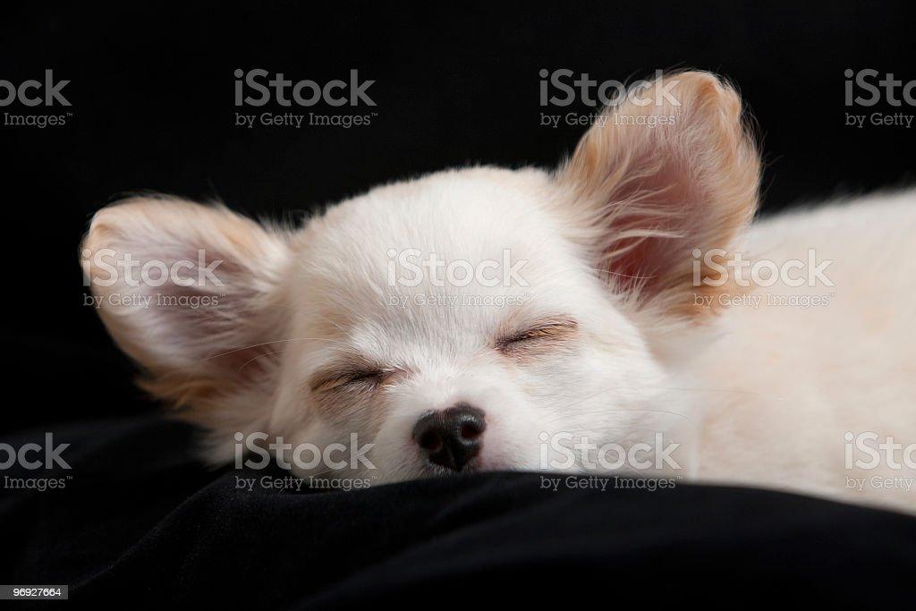 Chihuahua puppy royalty-free stock photo