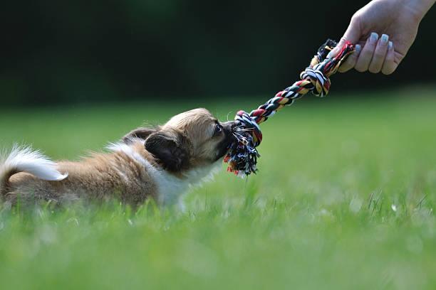 Chihuahua Welpen spielen mit Spielzeug in Frau hand – Foto