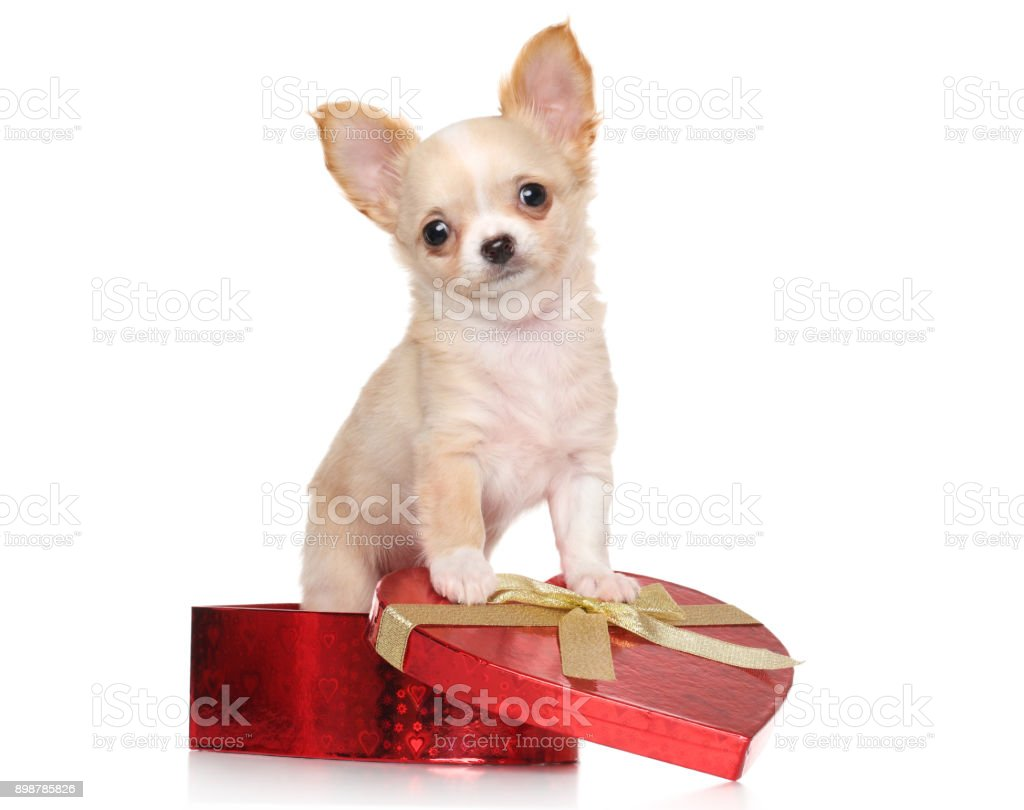 Chihuahua puppy sits in red Valentine heart box stock photo