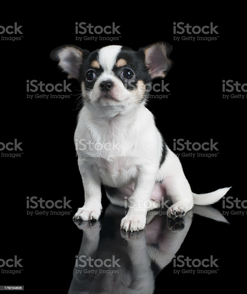 Chihuahua puppy sits on black background royalty-free stock photo