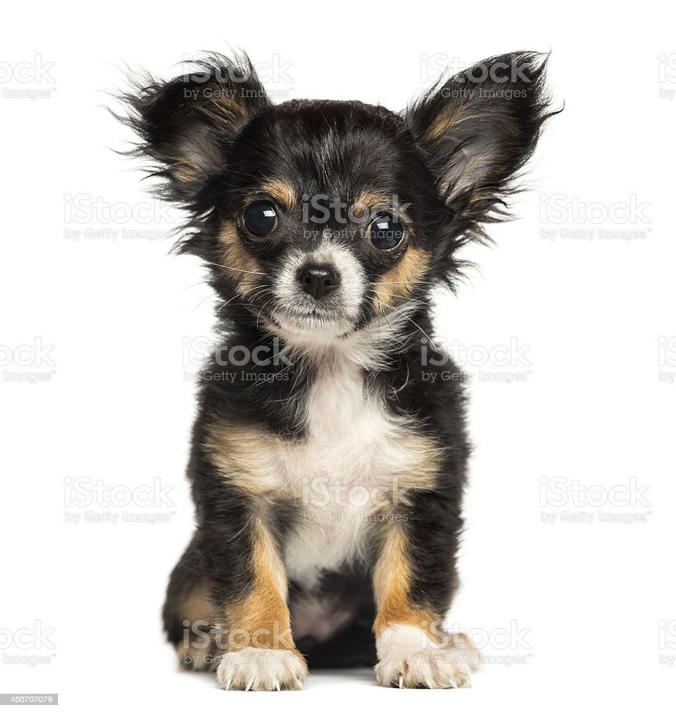 Chihuahua puppy sitting, looking at the camera, 3 months old stock photo
