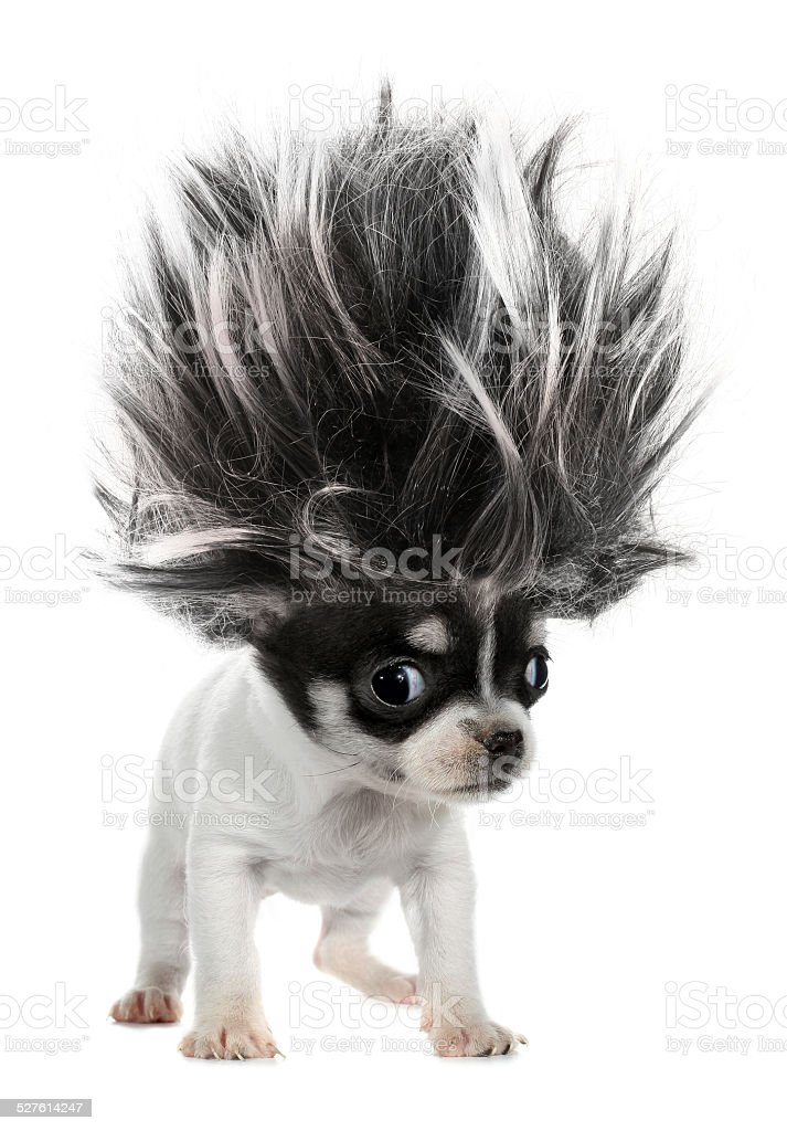 Chihuahua puppy small dog with crazy troll hair This is a long-haired chihuahua puppy small dog with crazy troll hair. Dog Stock Photo