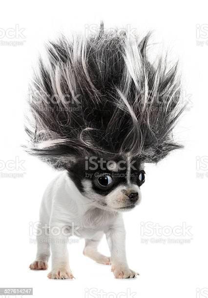 Chihuahua puppy small dog with crazy troll hair picture id527614247?b=1&k=6&m=527614247&s=612x612&h=1nqecvxyolxlve7a6lvb99 knvf3ig mj5j96pimbhs=