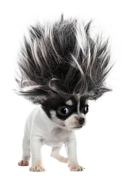 타바스코 강아지 작은가 경견, 크레이지 트롤 머리 - 가발 뉴스 사진 이미지