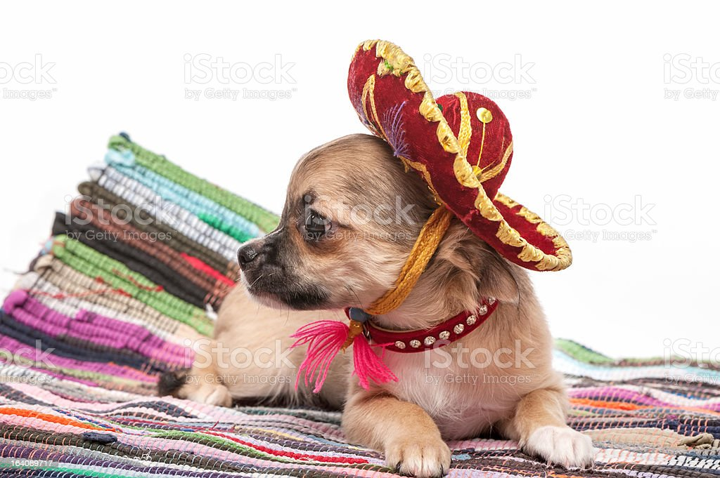 Chihuahua puppy wearing  Mexican hat and red collar stock photo