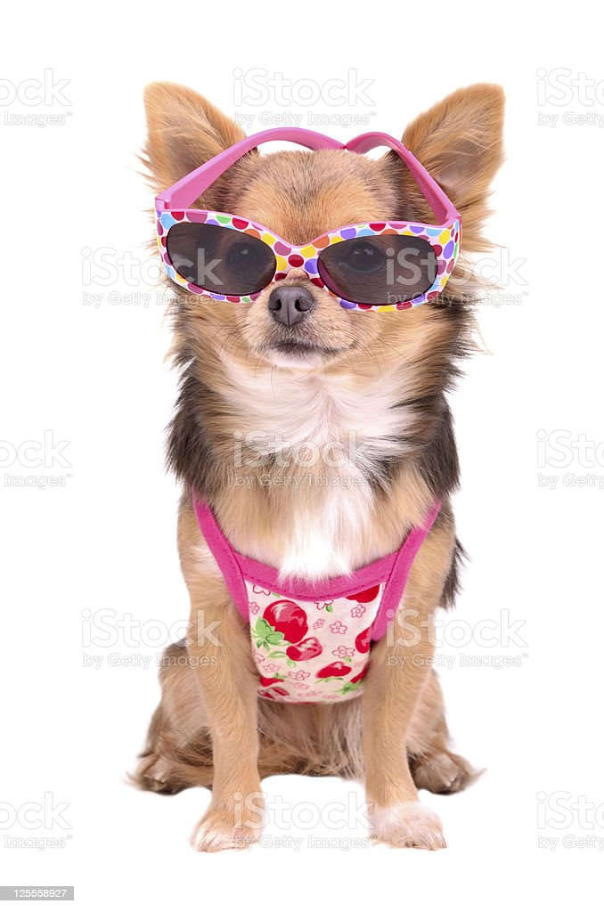 Chihuahua puppy wearing pink sun glasses and t-shirt stock photo