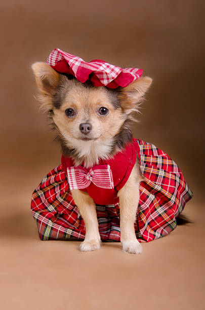 Chihuahua puppy wearing red chequered dress and cap picture id134248068?b=1&k=6&m=134248068&s=612x612&w=0&h=94toiiltyvsqbdjybhlunclh4gvv dzgwz3m2mhwgwq=