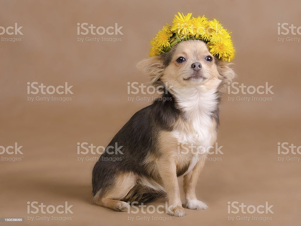 Chihuahua puppy wearing wreath of dandelions royalty-free stock photo