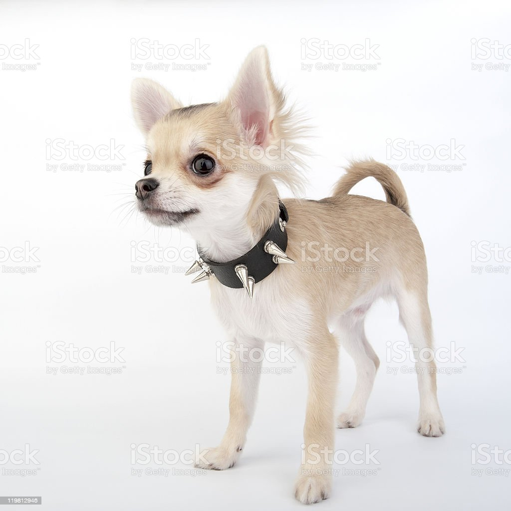 Chihuahua puppy with black leather studded collar stock photo