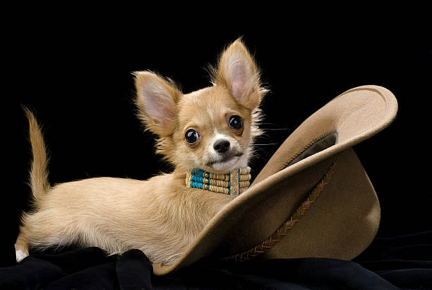 Chihuahua puppy with hat picture id176810266?b=1&k=6&m=176810266&s=612x612&w=0&h=owomlpfak d4kvniddzwbx6t8d c8uocqfebcfj3bzg=