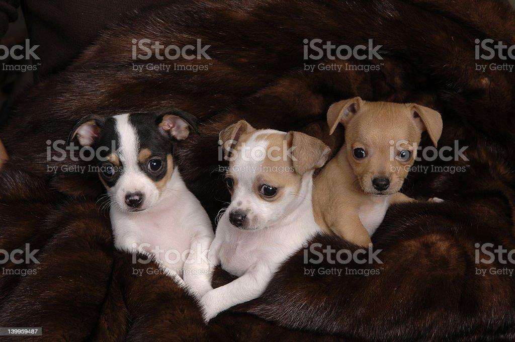 Chihuahua pups royalty-free stock photo