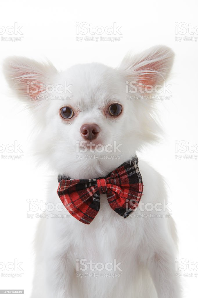 Chihuahua red bow stock photo