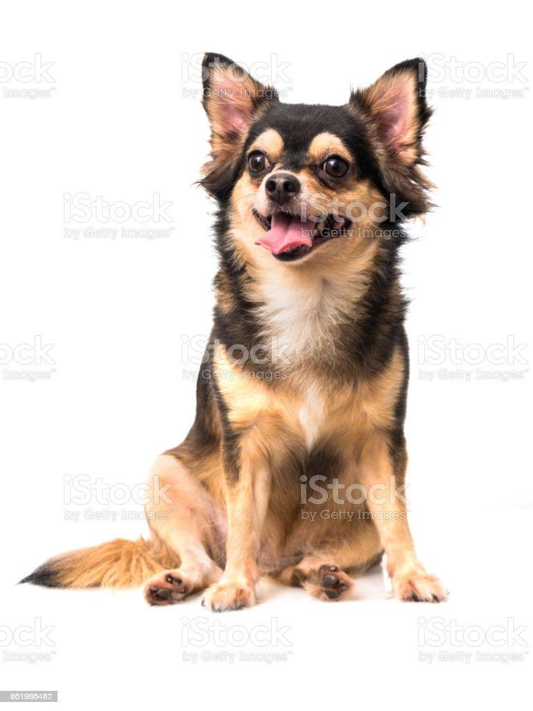 Chihuahua, die Standortwahl auf weißem Hintergrund – Foto