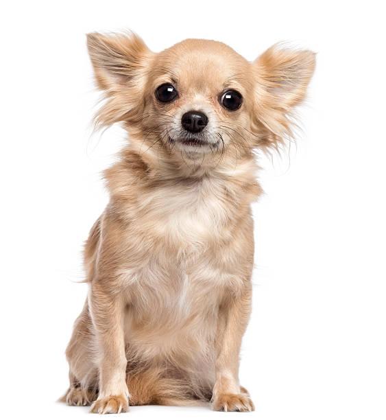 chihuahua assis et regardant la caméra sur fond blanc - chihuahua chien de race photos et images de collection