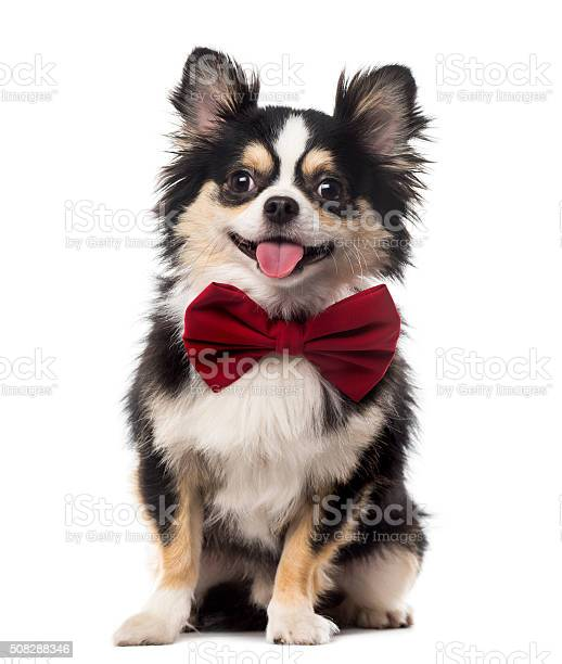Chihuahua sitting and wearing a bow tie picture id508288346?b=1&k=6&m=508288346&s=612x612&h=gqz2is1hv5scaodusua6 uqrlg9jvruxfykr ozjz m=