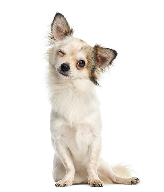 chihuahua sitting, facing, blinking, 1 year old - blinking stock pictures, royalty-free photos & images