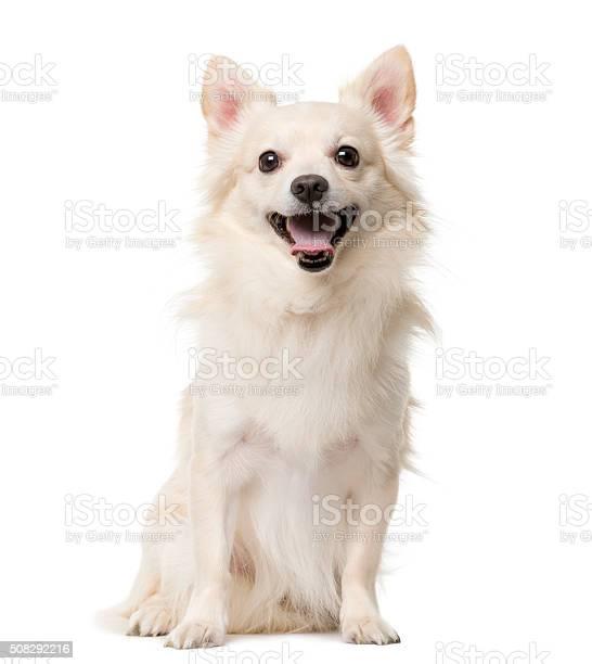 Chihuahua sitting in front of a white background picture id508292216?b=1&k=6&m=508292216&s=612x612&h=lhqztuqqquyehtifprq5xsmxlv9hbszzxahizwu0vuu=