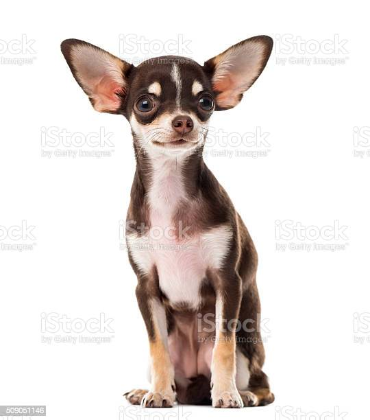 Chihuahua sitting in front of a white background picture id509051146?b=1&k=6&m=509051146&s=612x612&h=xfv3ysgoxg9fuojrpbscv0emsoiex5zssh8  3ywxxa=