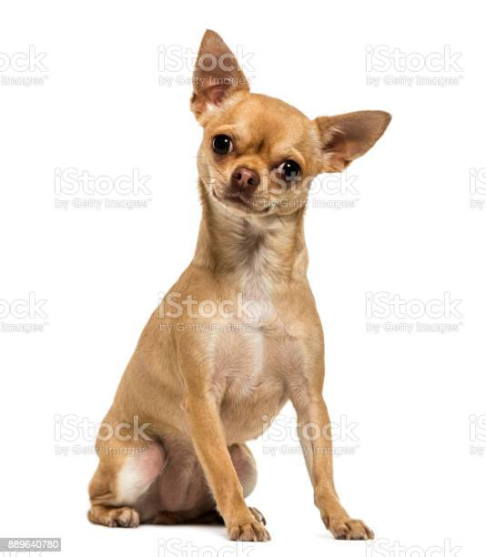Chihuahua sitting looking at the camera 5 year old isolated on white picture id889640780?b=1&k=6&m=889640780&s=612x612&h=dhdie8qz hwqsqtcxwyjkpr4pa3f50k1 cmkhlizkbs=