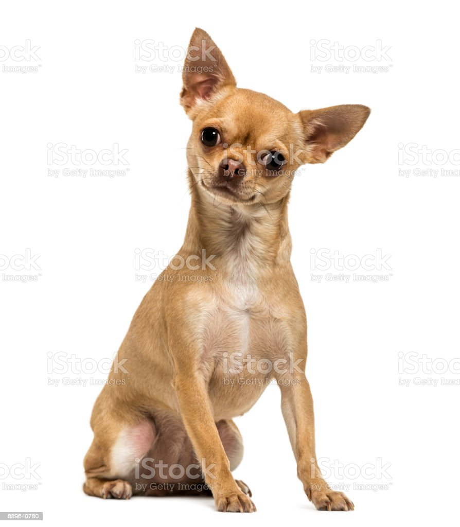 Chihuahua sitting, looking at the camera, 1,5 year old, isolated on white stock photo