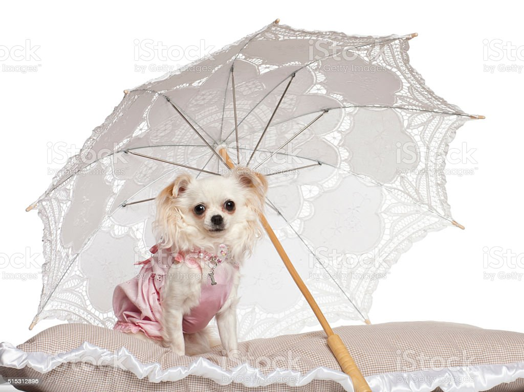 Chihuahua sitting under parasol against white background stock photo