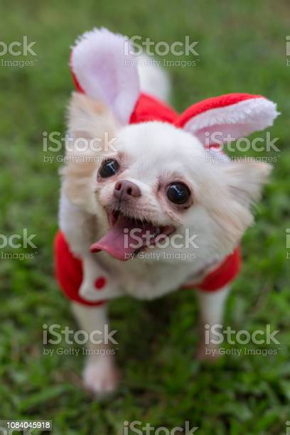 Chihuahua small dog cute pet smile happy in green grass field picture id1084045918?b=1&k=6&m=1084045918&s=612x612&h=ur4sa3 8xhns0mla00uv00aksyb41 e3 3 wddu26 a=