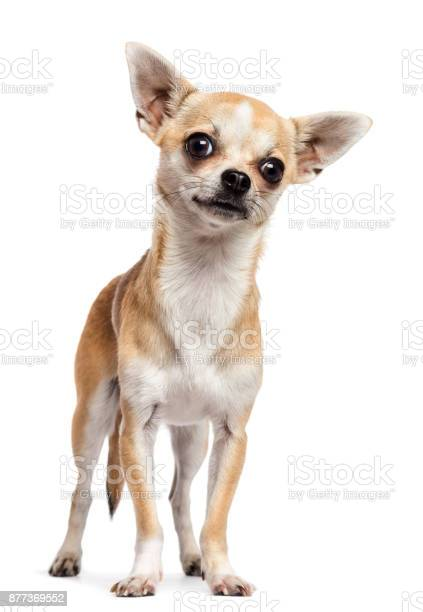 Chihuahua standing and looking at camera against white background picture id877369552?b=1&k=6&m=877369552&s=612x612&h=uzm88amzg5prfmtsms10twgbhfyfmkxjdiu 1zn6chy=