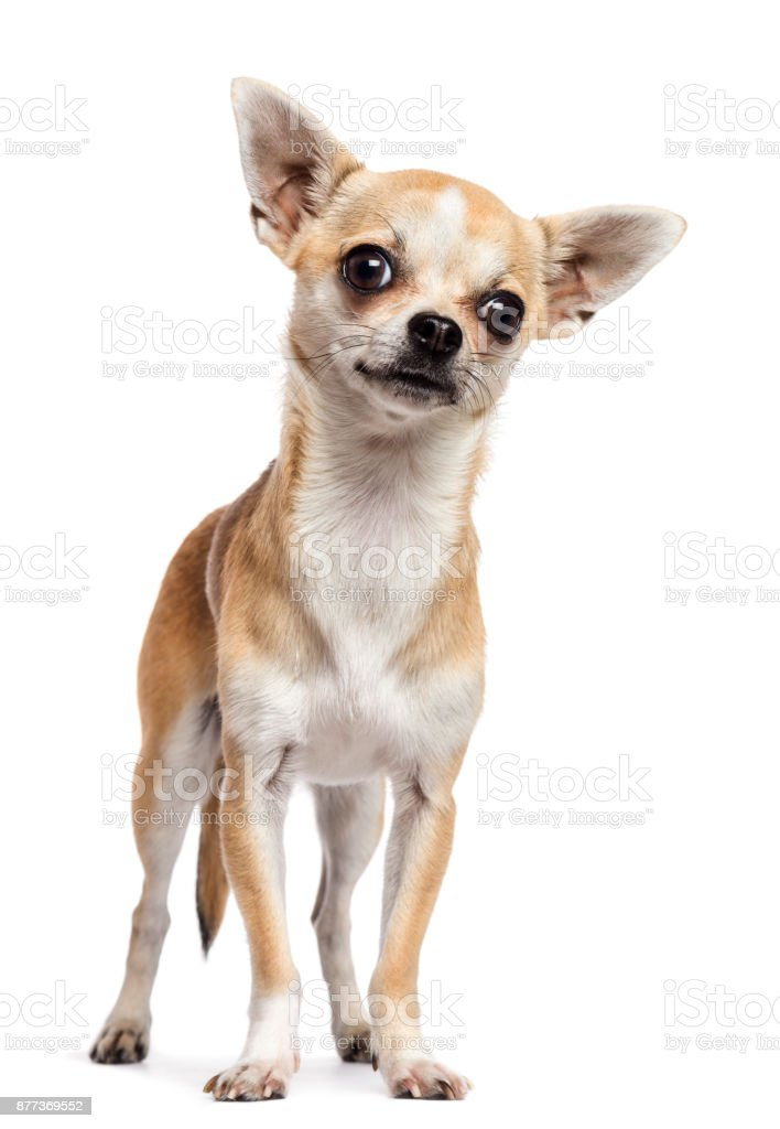 Chihuahua standing and looking at camera against white background stock photo