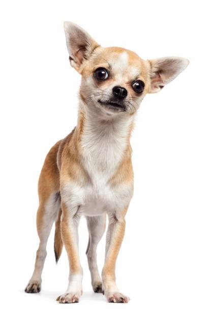 chihuahua debout et regarder la caméra sur fond blanc - chihuahua chien de race photos et images de collection
