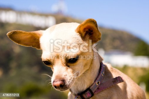 Chihuahua standing in front of a mountain sign