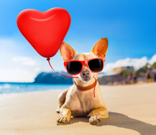 chihuahua Sommerhund – Foto