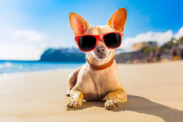 chihuahua Hund im Sommer – Foto