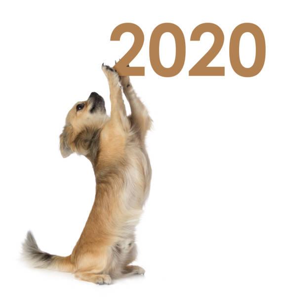 Chihuahua, das das Jahr 2020 hält – Foto