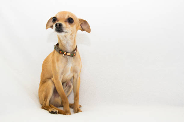 Chihuahua that looks like Dobby from Harry Potter Photograph of a timid male chihuahua, his ears and expression bear a strong resemblance to the fictional character Dobby from Harry Potter. short haired chihuahua stock pictures, royalty-free photos & images