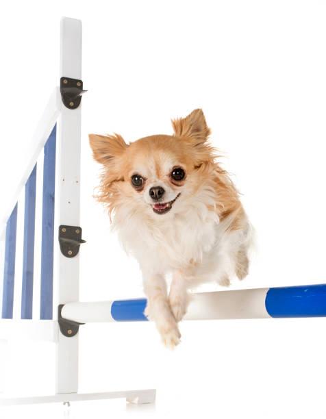 Chihuahua training in agility picture id959473710?b=1&k=6&m=959473710&s=612x612&w=0&h= 5xmcb2enwrbbogapaty14wf2efilesgfjgsaf2tjzo=