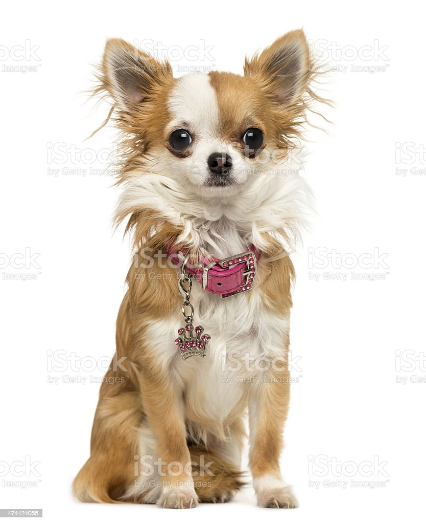 Chihuahua wearing a shiny collar, sitting, 7 months old, isolated stock photo