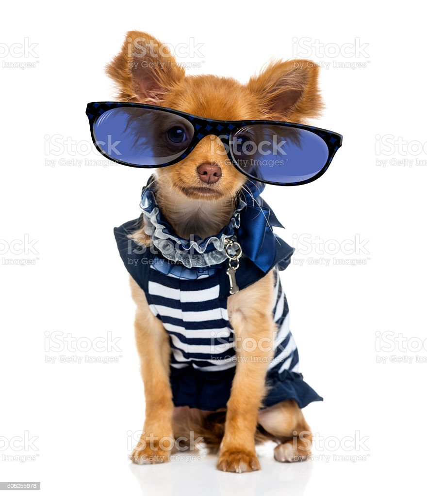 Chihuahua (2 years old) wearing glasses stock photo