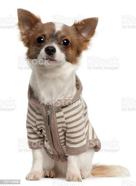 Chihuahua wearing striped jacket eleven months old sitting white picture id120743990?b=1&k=6&m=120743990&s=612x612&h=7ehyjef6qmeftowqigjsfyprsrgaja9b5ohp13qbzr8=