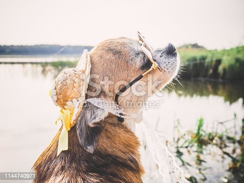 531058808istockphoto Chihuahua wearing sunglasses and straw hat sits on a bench by the river enjoying the sun. Fashionable dog in a hat and glasses resting on the beach 1144740971