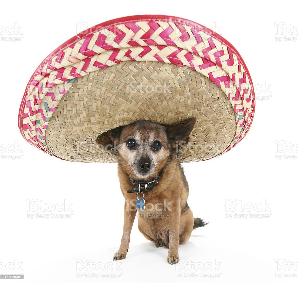 Chihuahua With A Sombrero Stock Photo