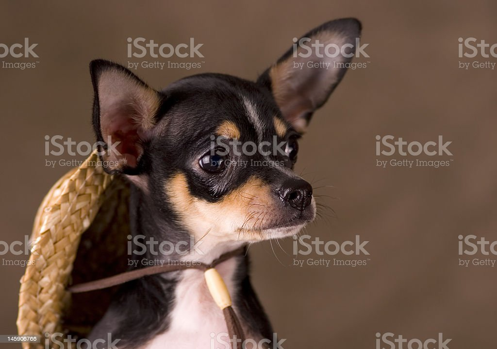 Chihuahua With a Straw Hat royalty-free stock photo