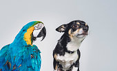 Close-up of Chihuahua with Gold and Blue Macaw. Purebred dog and tropical bird. They are against gray background.