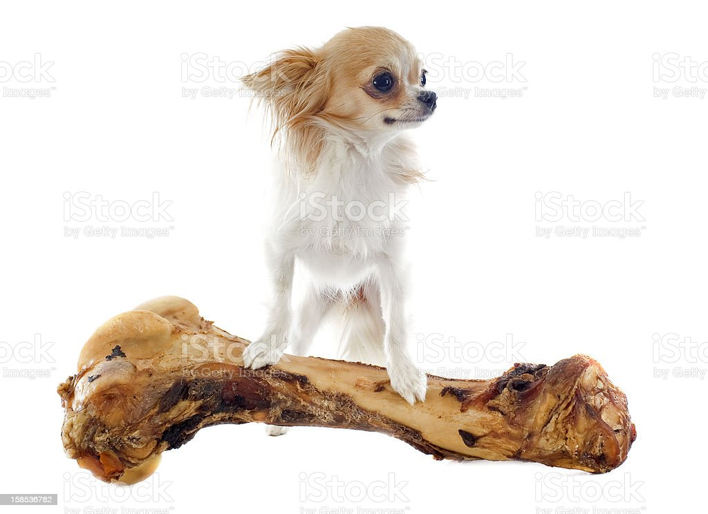 Chihuahua with oversized bone on a white background stock photo