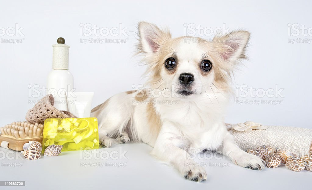 chihuahua with spa accessories stock photo