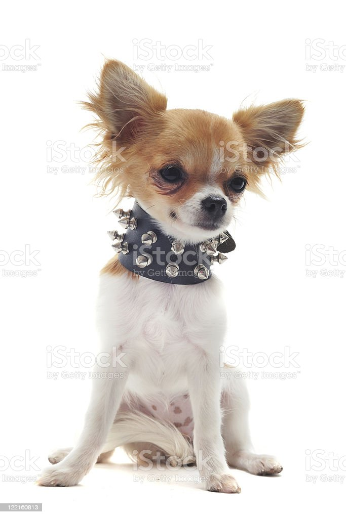 chihuahua with studded collar stock photo