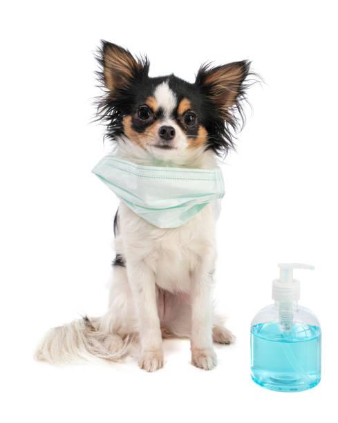 Chihuahua mit chirurgischer Maske und Alkoholgel – Foto