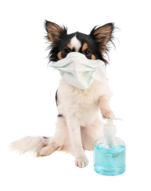 Chihuahua mit chirurgischer Maske am Mund und hydroalkoholischem Gel – Foto
